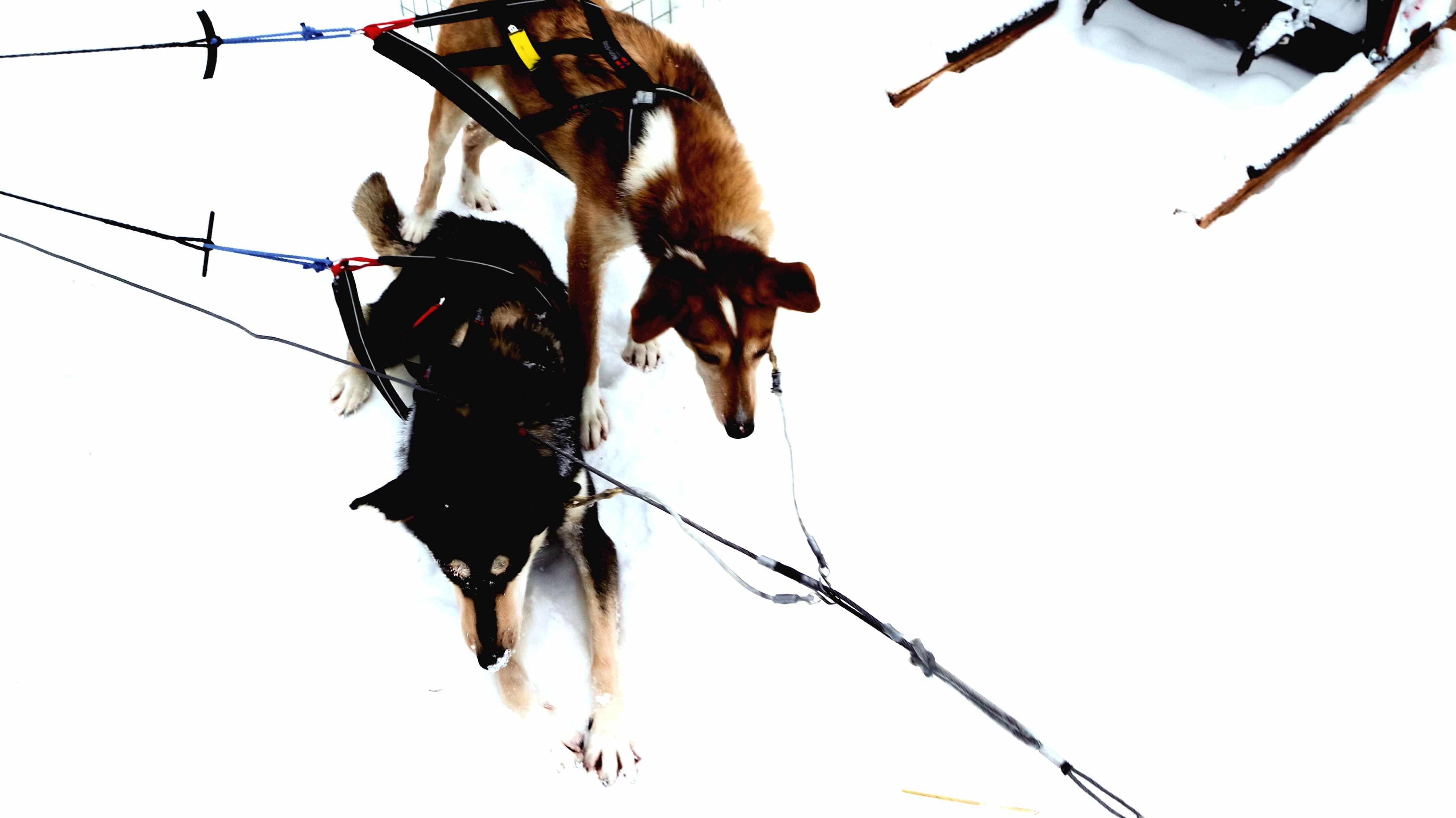 chiens de traîneau Laponie